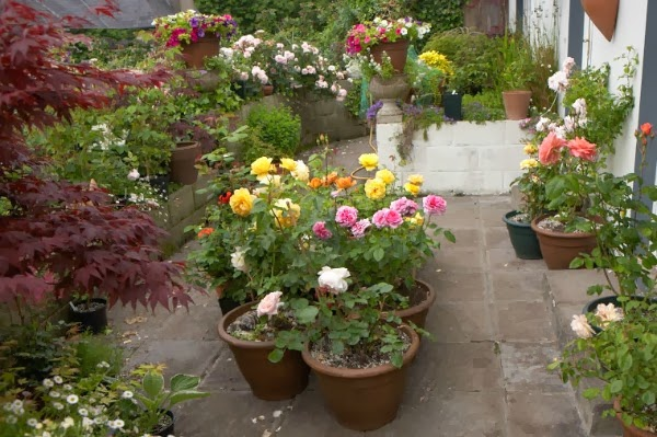 Cuidados de Rosas en Macetas de Barro