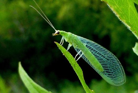 Crisopas: Insectos beneficiosos para el Jardín