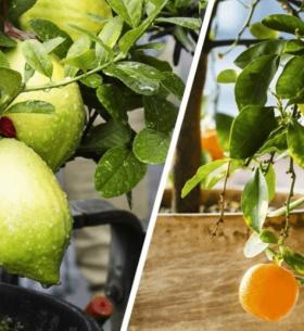 cultivar frutas en macetas