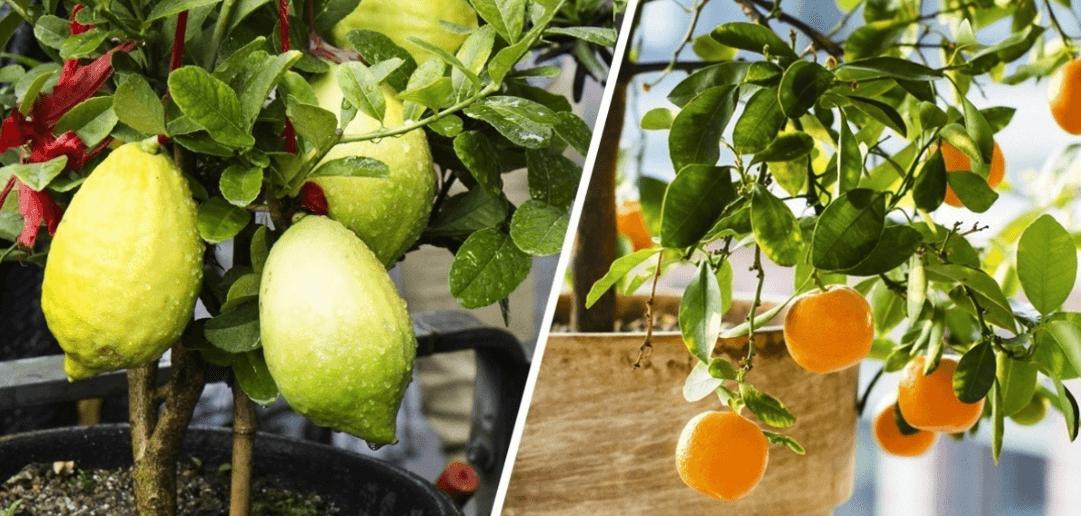 Frutas para Cultivar en Macetas en Casa