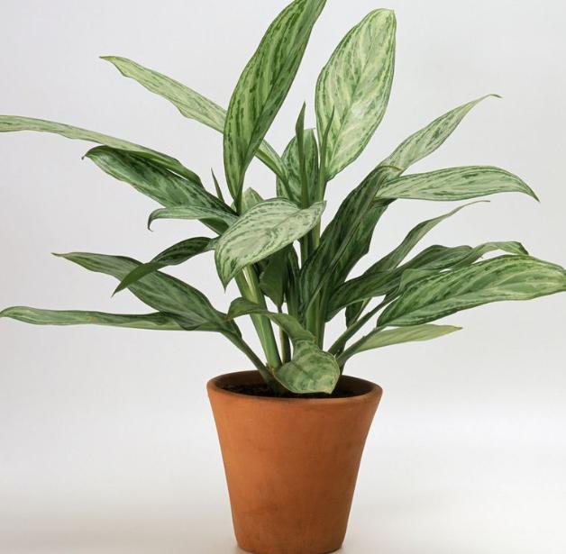 planta aglaonema