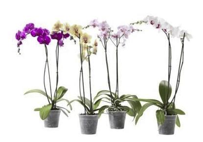 cuidados para la orquídea
