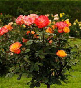 consejos para cuidar los rosales