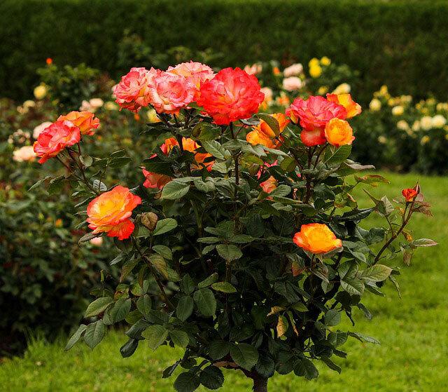 6 Consejos para cultivar Rosas