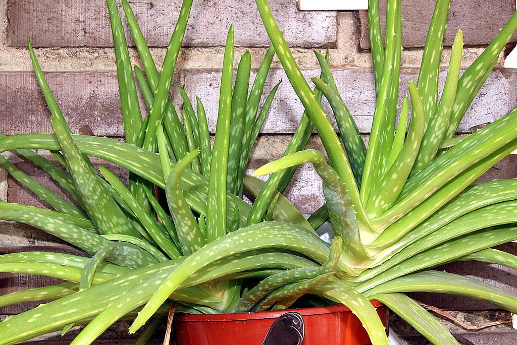 Beneficios de cultivar  en casa el Aloe Vera