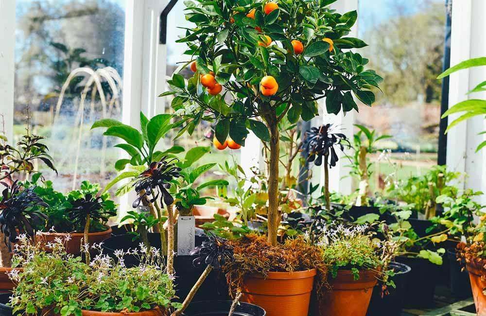 10 arboles frutales para cultivar en maceta
