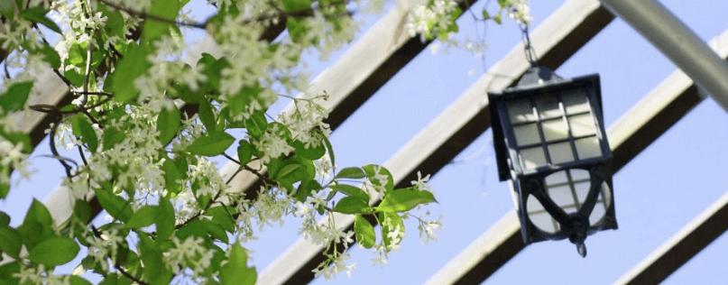planta enredadera madreselva