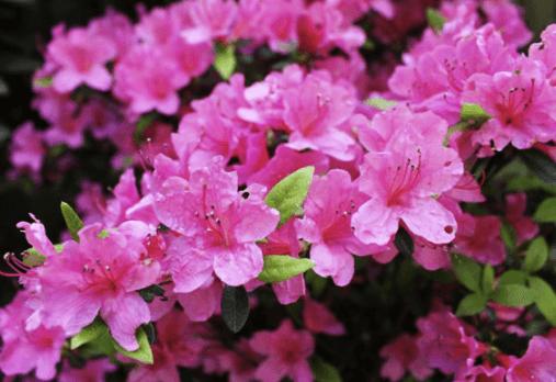 azalea planta de invierno para jardines