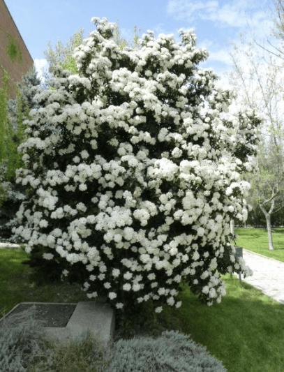 durillo planta de invierno