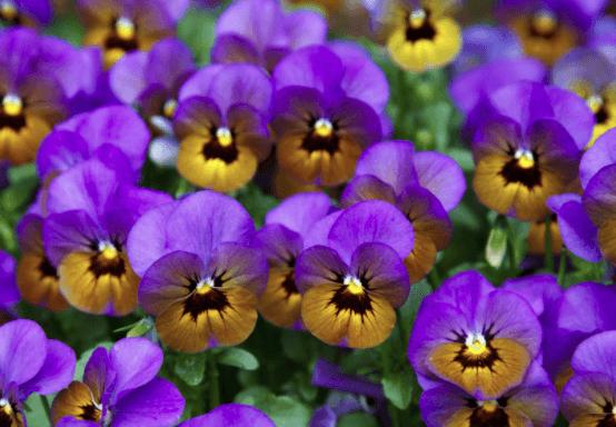 flor pensamiento para el jardin