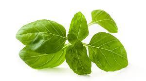 albahaca planta aromática