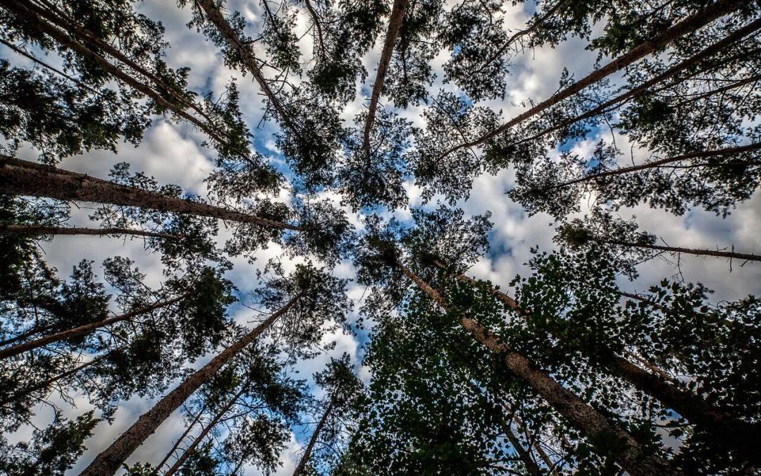 Consejos para la poda del pino